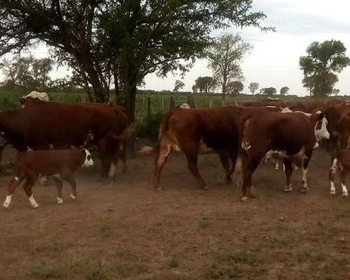 35 Vacas Bratfor Con Ternero Al Pie.