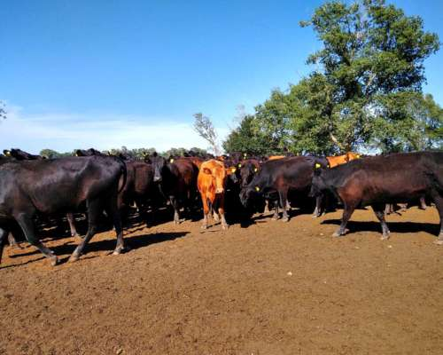 100 Vaquillonas Angus Paricion Marzo