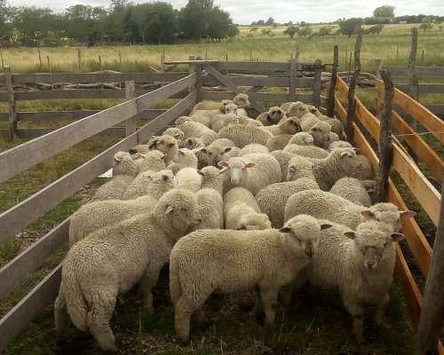 Vendo 40 Corderos en PIE Peso Aproximado Promedio 27 Kg