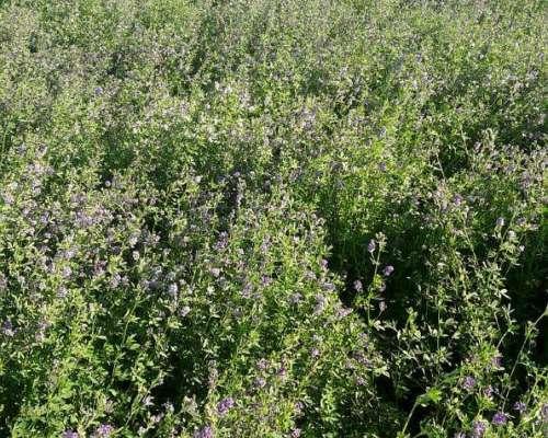 Semilla de Alfalfa Salinera Inta