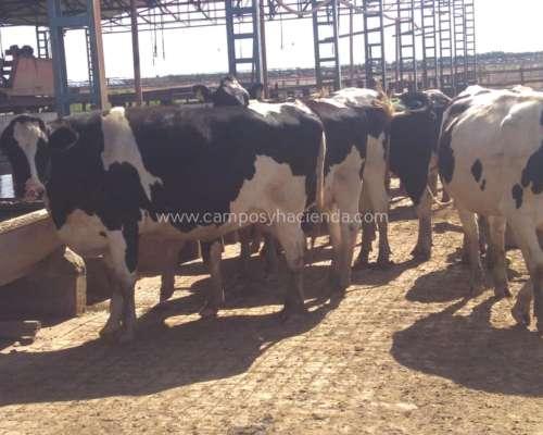 Vacas Secas / Preñadas Holando Argentino