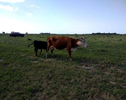 Vendo Vacas Gordas y para Invernar