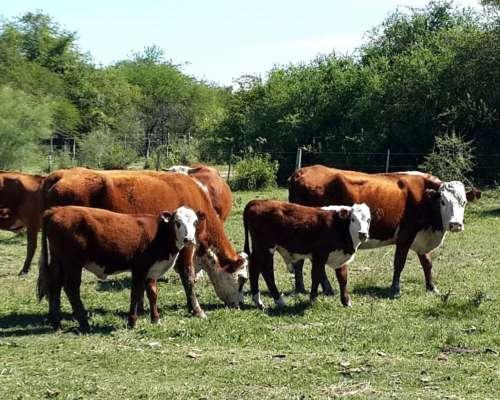 30 Vacas Paridas Bradford Y 10 Preñadas