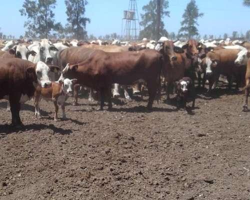 Vdo 200 Vacas Con Ternero Al Pie