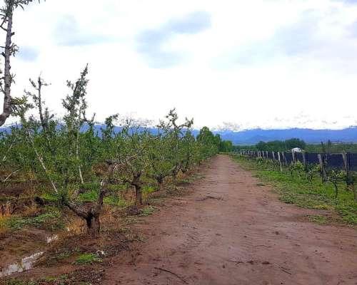 40 Has Finca con Viñedos y Nogales en Vista Flores