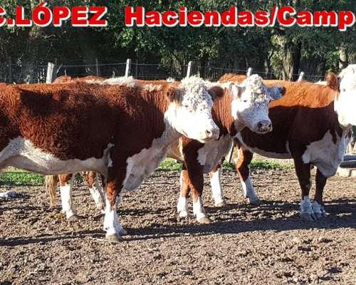 Vacas CUT Preñadas .