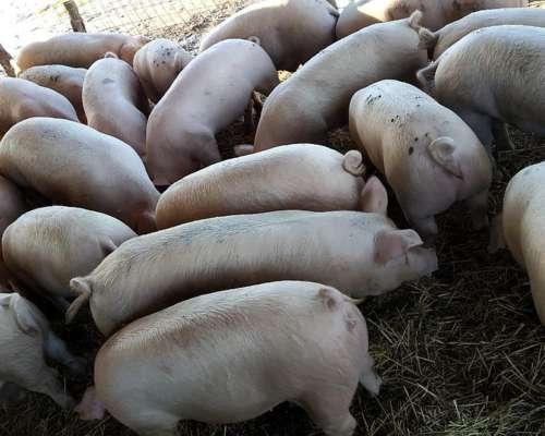 Venta de Cerdos al PIE - Cordoba