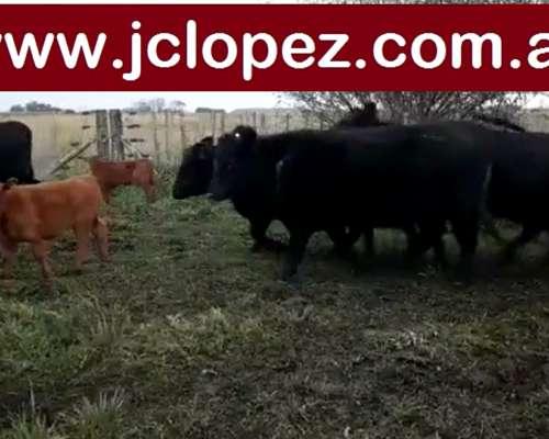 Vaq y Vacas Paridas Angus
