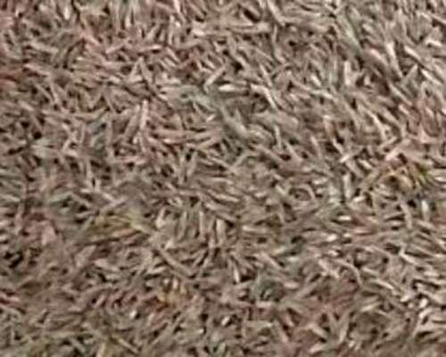 Compramos REY Grass Diploide en Zonas Productivas