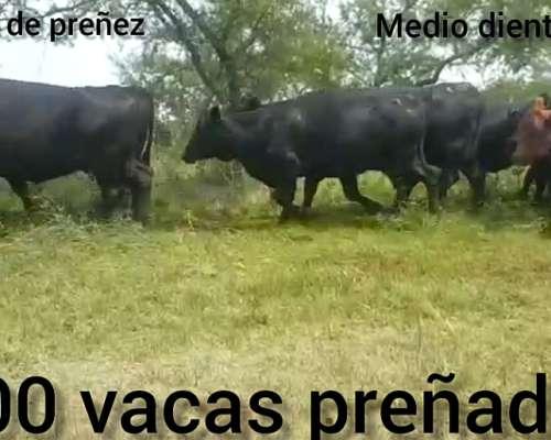 100 Vacas Preñadas Medio Diente Arriba