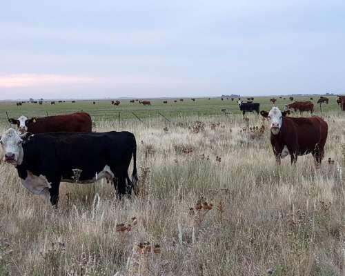 Compro Vacas Paridas o Paricion Marzo ABR Mayo Zona Bahia BL