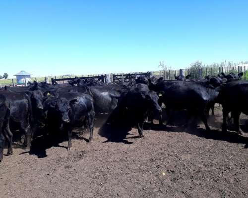38 Vaquillonas Angus Negro Paricion Marzo
