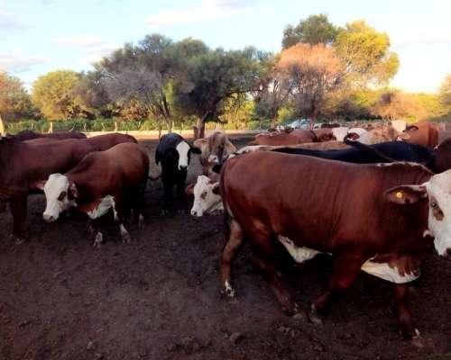 Compro Novillito y Vacagorda para Faena Vaca Manufa y Toros