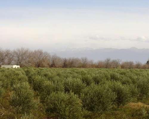 Departamento Lavalle Mendoza( Chacra con Olivos)