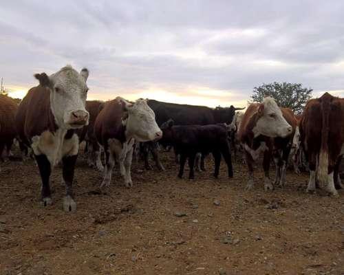 Vendo Vacas Usadas CUT