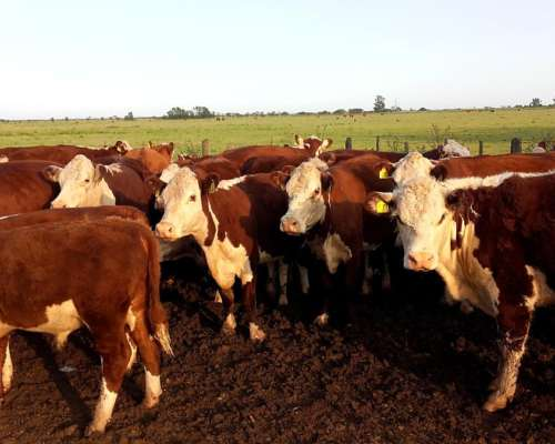 Rodeo Completo Polled Hereford 65 Animales 3492-649735