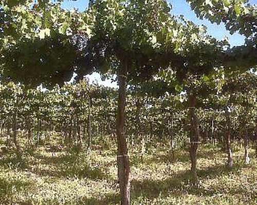 Viñedos y Parrales en Gral. Alvear ,mendoza (varietales)