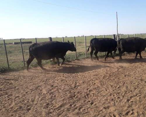 Compro Vacas para Faena Pago Ctdo. Cualquier Parte del Pais
