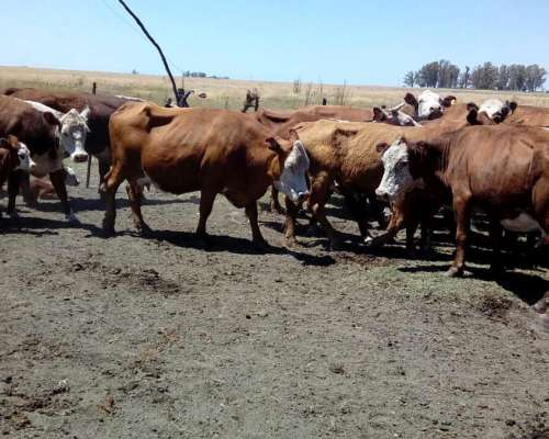 Disponemos de Vacas para la Venta Nuevas CUT e Invernada