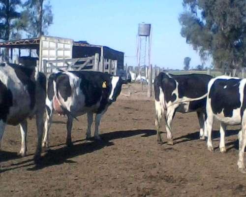 Vaquillonas Inseminadas, Sexadas,,, Vacas En Produccion