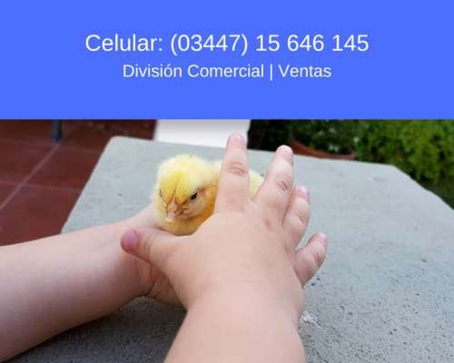Vendo Pollitos BB Parrilleros para Producción Intensiva
