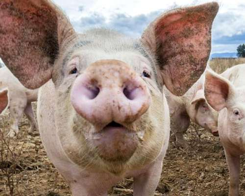 Vendo Cerdos/ Cachorras para Madre