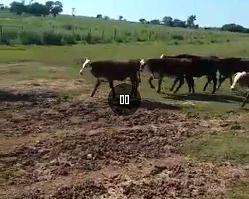 30 Vacas CUT con 22 Terneros