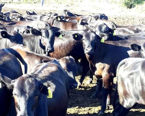 Vendo 250 Vaquillas De 240 Kg. Contado