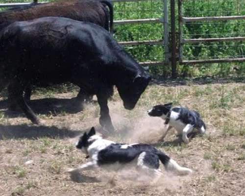 Vendo Cow Dogs(perro Vaquero, Border Collie, Criadero Fca).