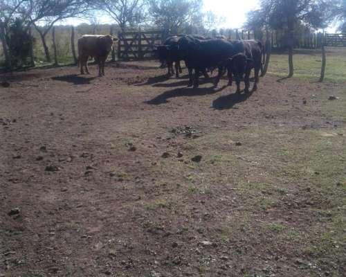 Disponemos De Invernada Vacas Terneros Novillitos