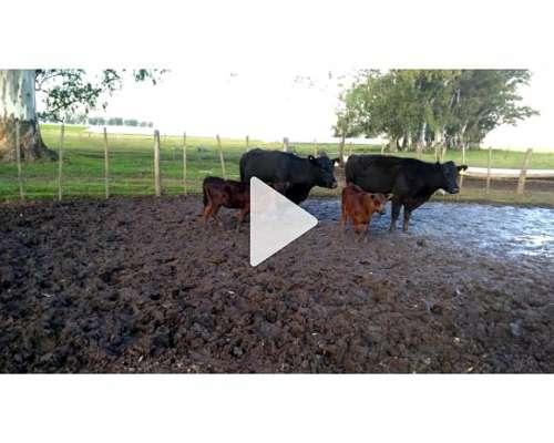 Vacas Preñadas y con Cria
