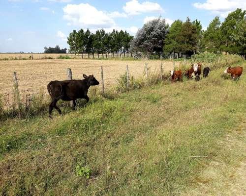 Vacas Vaquillona con Cria