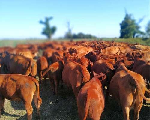 Compro Vacas Preñadas Angus