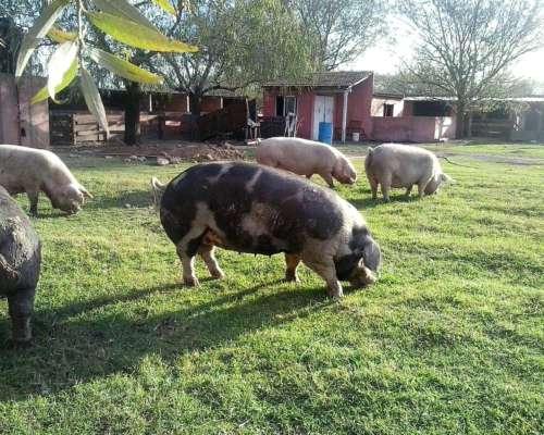 Servicio Asesoramiento Nutricional - Porcinos