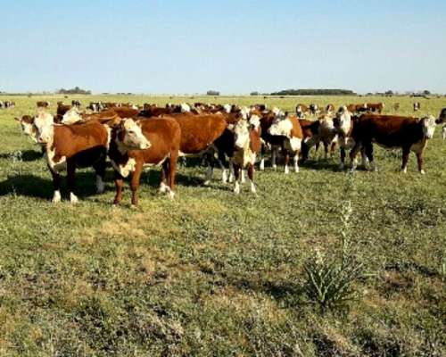 Nuevo Lote Vaquillonas Polled Heref Trazadas, Clasif Aach
