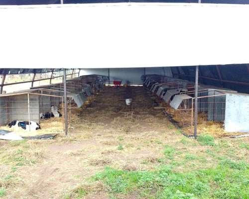 Galpón para Terneros y Hacienda
