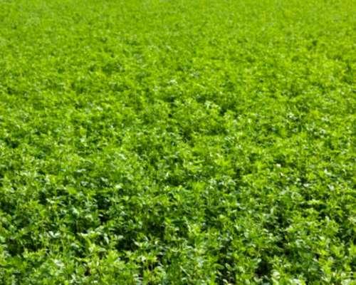Semilla De Alfalfa Origen Usa