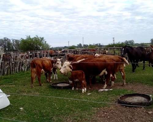 Vendo 18 Vacas Ultimo Ternero Con Cria Al Pie Y 7 Preñadas.