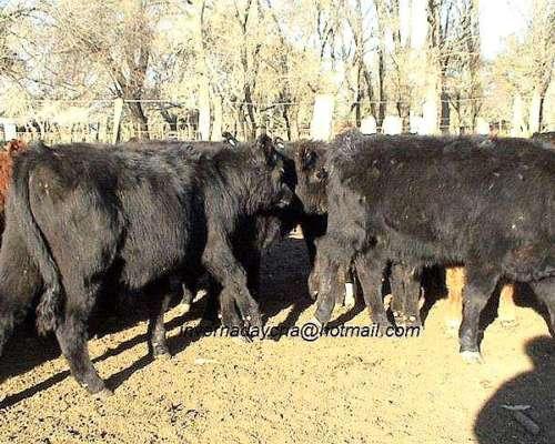 Compro Invernada 170kgs. MYH en Bs.as. Entre Ríos Corrientes
