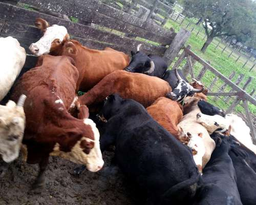 Vendo Jaula Vacas Invernada