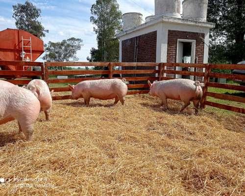 Reproductores Porcinos Genética Marilauce