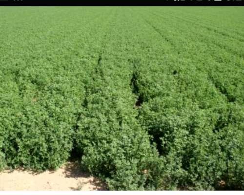 Semilla de Alfalfa N°2 Grupo 8