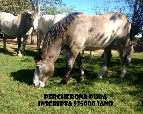 Caballos y Yeguas Percheron en Venta